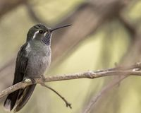 Blue-throated hummingbird perched on branch royalty free stock image