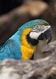 Blue-throated Macaw Royalty Free Stock Photography