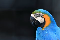 Blue throated macaw close up Stock Photo