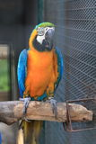 Blue throated macaw perching Stock Images