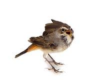 Blue-throated robin bird isolated Stock Photo