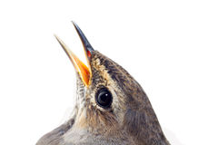 Blue-throated robin bird isolated Royalty Free Stock Images