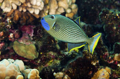 Blue Throated Trigger Fish Stock Photo