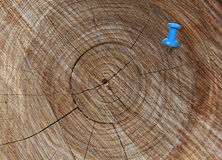 Blue thumbtack in crosscut tree Stock Photography