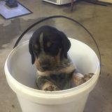 Blue tick. Puppy In a white bucket Stock Image
