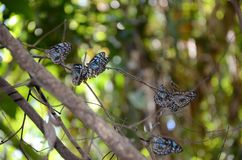 Blue tiger butterflies colony Stock Images