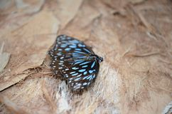 Blue tiger butterflies colony Royalty Free Stock Photography