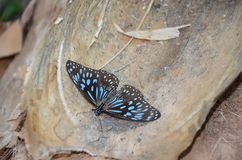 Blue tiger butterflies colony Stock Photos
