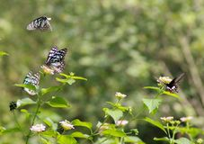 Blue tiger and common Mormon butterflies. Blue tiger butterflies and common Mormon butterfly, surrounded by Lantana plants. These butterflies are common in the stock photo