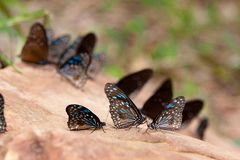 Blue tiger butterflies on rock. 3 blue tiger butterflies on rock with a nature back ground . it is a nature life of butterfly in Thailand and tropical area Stock Photo