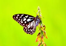 Blue Tiger Butterfly Stock Images