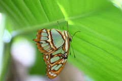 Blue Tiger Butterfly. With wings folded on a leaf Stock Photography