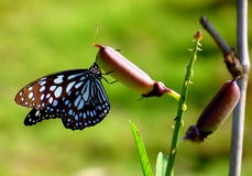 Blue Tiger Butterfly Stock Image