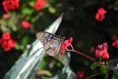 Blue Tiger butterfly 2. Blue Tiger butterfly on a cactus flower, Queens garden stock photography