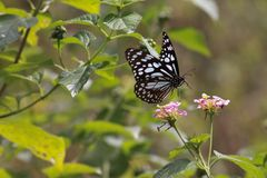 Blue tiger butterfly and Lantana plant. A blue tiger butterfly - Tirumala species, belonging to the Danaid group of butterflies, flies towards a Lantana plant in royalty free stock photos