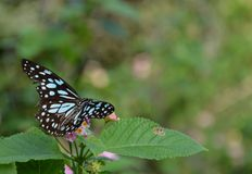 Blue tiger butterfly and Lantana plant. A blue tiger butterfly - Tirumala species, belonging to the Danaid group of butterflies, flies towards a Lantana plant in royalty free stock image