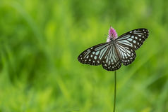 Blue tiger butterfly Royalty Free Stock Image