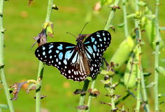 Blue Tiger Butterfly Royalty Free Stock Images