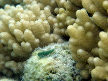 Blue Tiger Goby Keeps Lookout amongst soft corals Stock Images