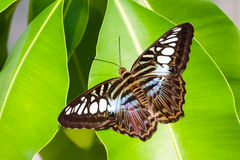 Blue tiger striped butterfly Stock Photo