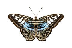 Blue tiger striped butterfly Stock Photos
