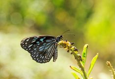 A Blue tiger Tirumala limniace butterfly. Tirumala limniace, the blue tiger, is a butterfly found in India that belongs to the crows and tigers, that is, the royalty free stock photography
