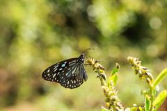 A Blue tiger Tirumala limniace butterfly. Tirumala limniace, the blue tiger, is a butterfly found in India that belongs to the crows and tigers, that is, the stock photos
