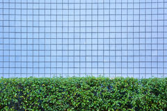 Blue tiles wall texture with green bush Stock Photography