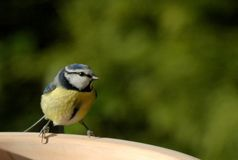 Blue Tit 03. Close up of a blue tit in winter Royalty Free Stock Images