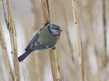 Blue tit-1. Blue tit sitting on a branch of cane-1 Royalty Free Stock Images