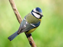 Blue tit. Colorful blue tit looking from her back. With blurred green background stock photo