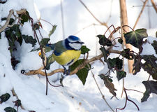 Blue Tit. In a setting of woodland Royalty Free Stock Image