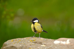 A Blue Tit. In full colour standing on a rock royalty free stock photo