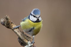 Blue tit Royalty Free Stock Photo