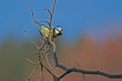 Blue tit. Titmouse posed on a branch Royalty Free Stock Image