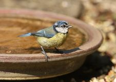 Blue Tit. Portrait of a Blue Tit cooling off in a water bath on a hot spring day Stock Photos