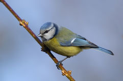 Blue tit. Sitting on the branch Stock Image
