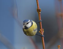 Blue tit. Staring left while sitting sideways on the branch Stock Images