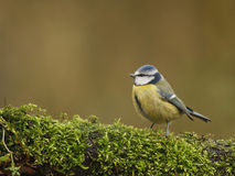 Blue tit. On a branch Royalty Free Stock Images
