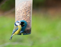 A blue tit Royalty Free Stock Images