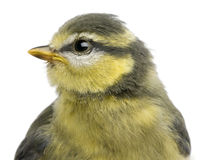Blue Tit, 23 days old, close up Stock Photography