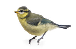 Blue Tit, 23 days old, perched Stock Image