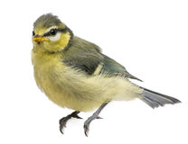 Blue Tit, 23 days old, perched. Against white background royalty free stock image