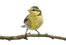 Blue Tit, 23 days old, perching on branch. Against white background stock images