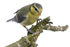 Blue Tit, 23 days old, perching on branch Royalty Free Stock Image