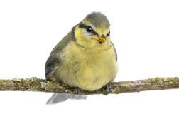 Blue Tit, 23 days old, perching on branch Stock Photos