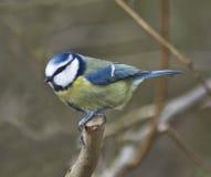 Blue Tit. The Blue Tit (Parus caeruleus) on branch Stock Photo