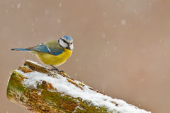 Blue tit. In winter on a snowy log with space right Royalty Free Stock Photography