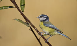 Blue Tit Stock Photography