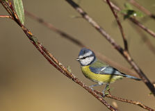 Blue Tit. Is perching on a tree branch stock images